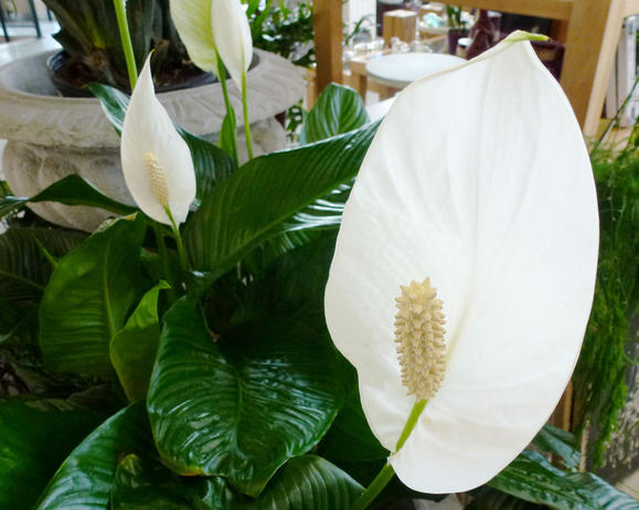 Spathiphyllum 'Mauna Loa' - A beautiful flowering plant with its unique blooms. This is a fairly easy plant to care for; it likes shade and only needs to be watered weekly. Filters: Benzene, formaldehyde, trichlorethyelene, xylene, toluene and ammonia