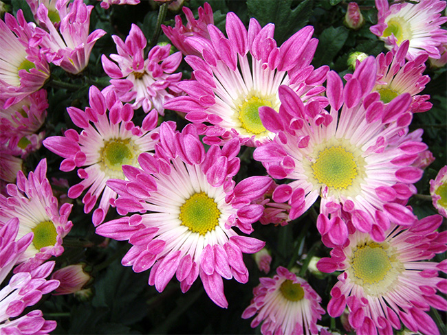 Also known as the Florist's Daisy, Florist's Chrysanthemum is a beautiful perennial with great filtering ability