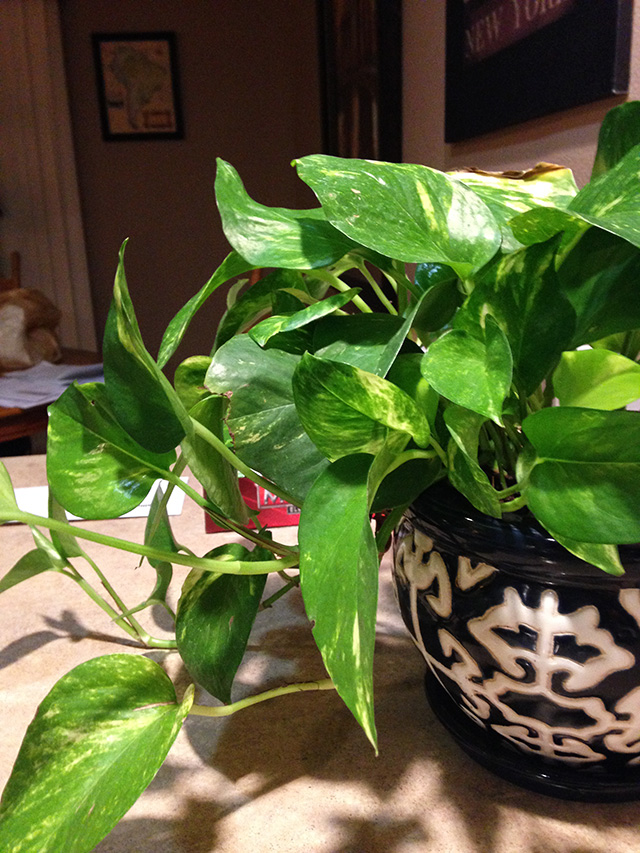 Devil's Ivey or Golden Pothos is a beautiful climbing vine that is great at detoxifying formaldehyde