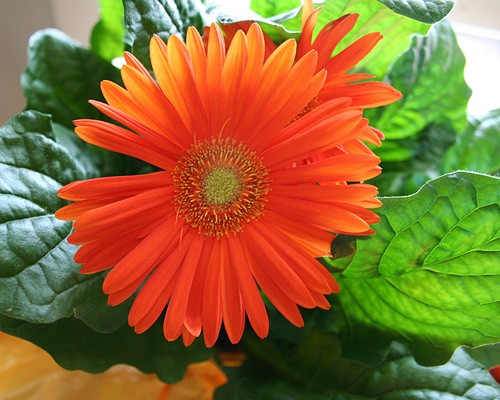 Gerber Daisy is a bright flowering plant that requires a lot of sunlight and does a fantastic job at filtering trichloroethylene among others