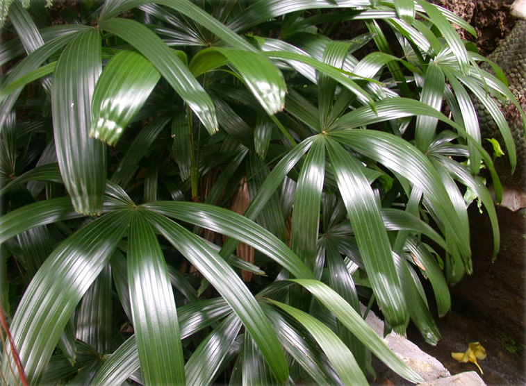 The Braodleaf Lady Palm is a beautiful species of fan palm that's not very fussy in terms of care