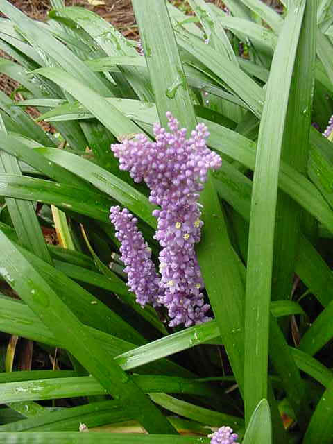 Lilyturf is a grass-like evergreen that yields flowers