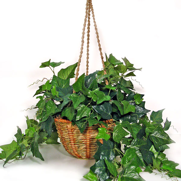 This common clinging vine is one of the best home air purifiers, being #1 at filtering formaldehyde