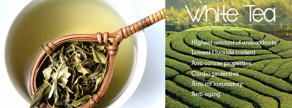 White tea has the highest concentration of antioxidants due to the use of early leaf buds and minimal processing